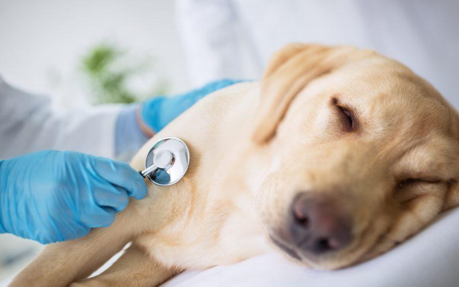 Leishmaniosi cane sintomi iniziali
