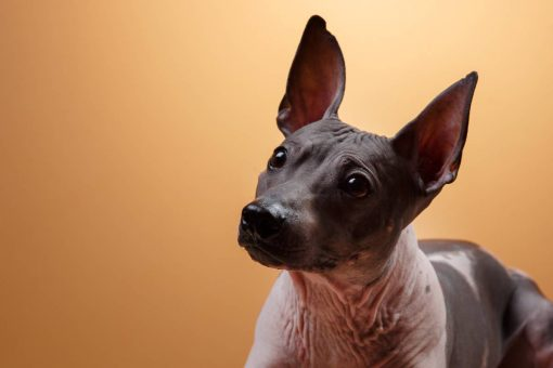 nackter-hund-in-orange