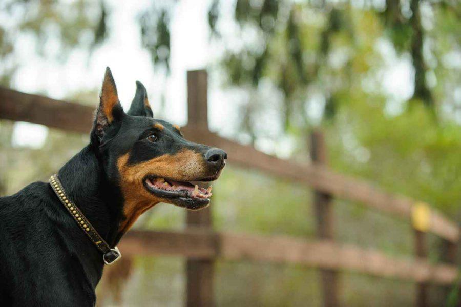 GPS cani cinturino